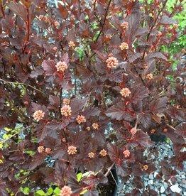 Physocarpus opul. Seward Ninebark, Summerwine, #3