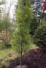 Carpinus betulus Fastigiata Hornbeam - European Upright, #15