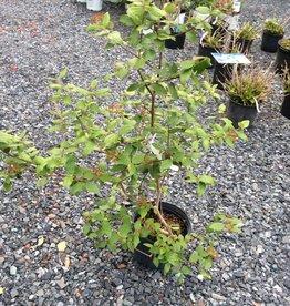 Viburnum x burk. Viburnum - Burkwood, #3