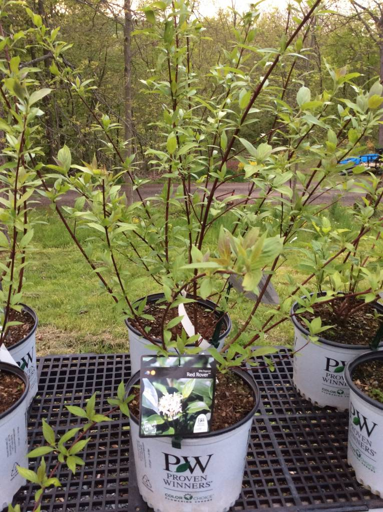 Nativar Shrub Cornus obliqua Red Rover Dogwood - Silky, Red Rover, #3