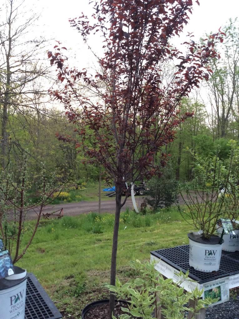 Prunus Cerasi Thundercloud Plum Purple Leaf Thundercloud 1 75