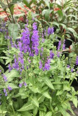 Salvia nem. Marcus Sage - Meadow, Marcus, #1