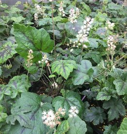 Tiarella cord. New Moon Motley Foamflower, #1