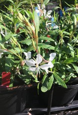 Gaura lind. Whirling Butterfl Gaura, Whirling Butterfly, #1