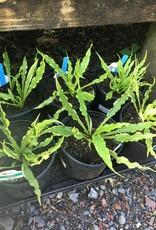 Hosta Electrocution Plantain Lily,#1
