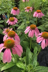 Echinacea pur. Kim's Knee High Coneflower, Kim's Knee High, #1
