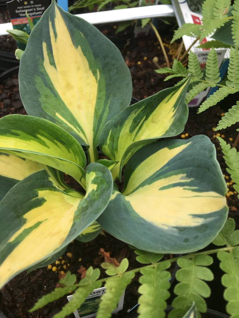Hosta Beach Boy, Plantain Lily, #1