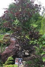 Fagus sylvatica Rohani Beech - European, Purple, 7