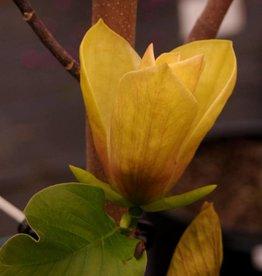 none Magnolia x brooklyn. Judy Zuk- Hybrid magnolia, #7