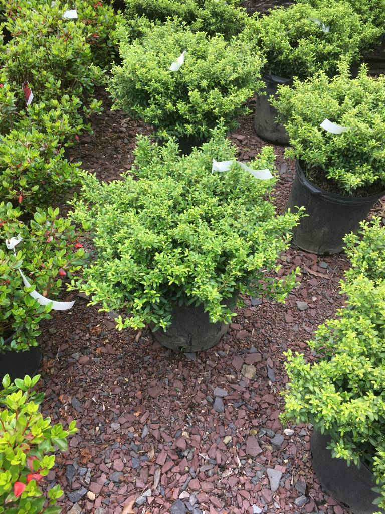 Ilex crenata Soft Touch Holly - Japanese, Soft Touch, #3