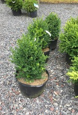 Buxus Green Mountain Boxwood, Green Mountain, #5