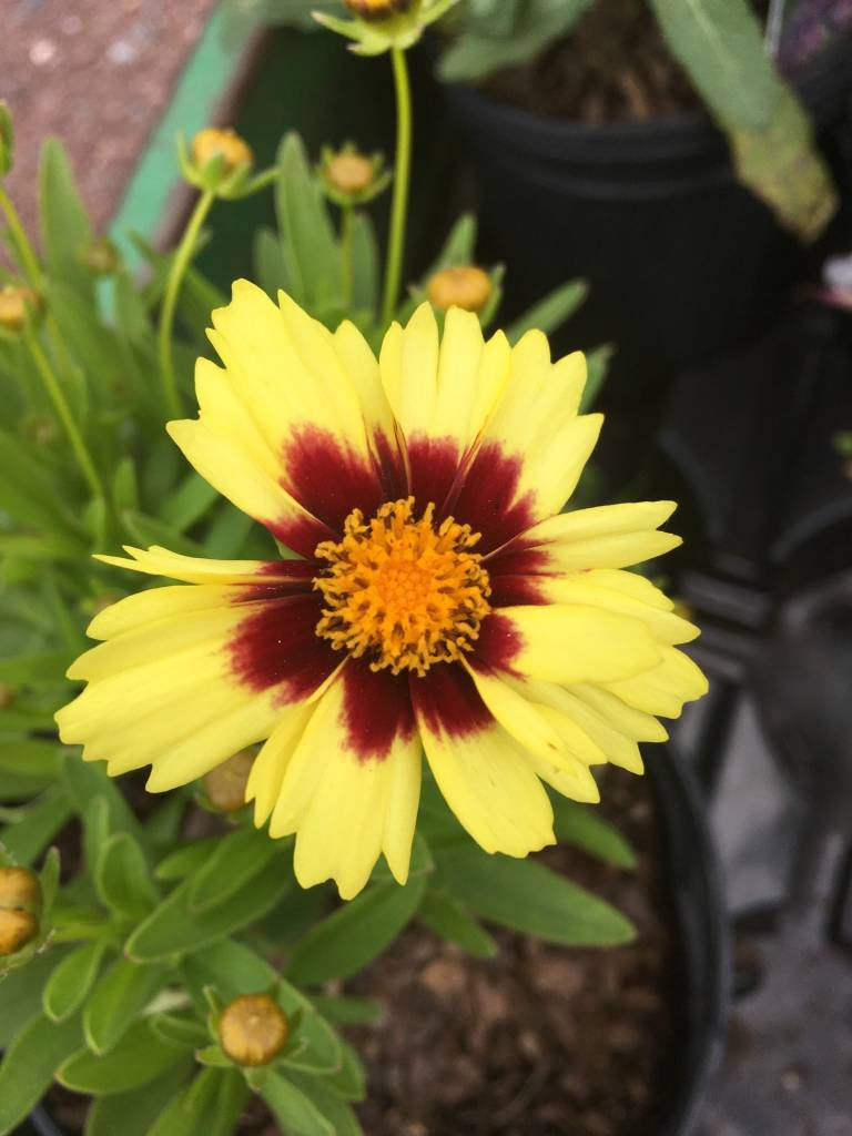 Coreopsis UpTick Yellow & Red Tickseed, #1