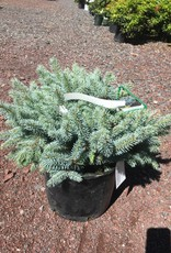 Picea pungens glauca Globosa Spruce - Colorado Blue Dwarf, Globe, #5