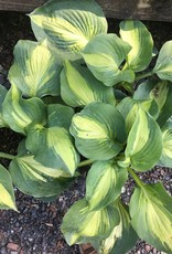 Hosta Hudson Bay Plantain Lily,#1