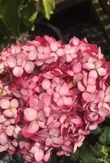 Hydrangea arbor.  Hydrangea - Smooth, Invincibelle Ruby, #2