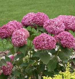 Nativar Shrub Hydrangea arbor.  Hydrangea - Smooth, Invincibelle Mini Mauvette, #2