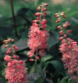 Nativar Shrub Clethra aln. Ruby Spice Summersweet, Ruby Spice, #3