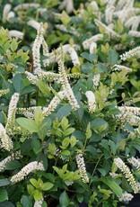 Nativar Shrub Itea virginica Scentlandia Sweetspire, Scentlandia, #3