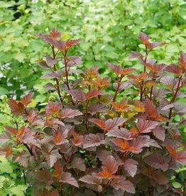 Nativar Shrub Physocarpus opul. Ginger Wine Ninebark, Ginger Wine, #3