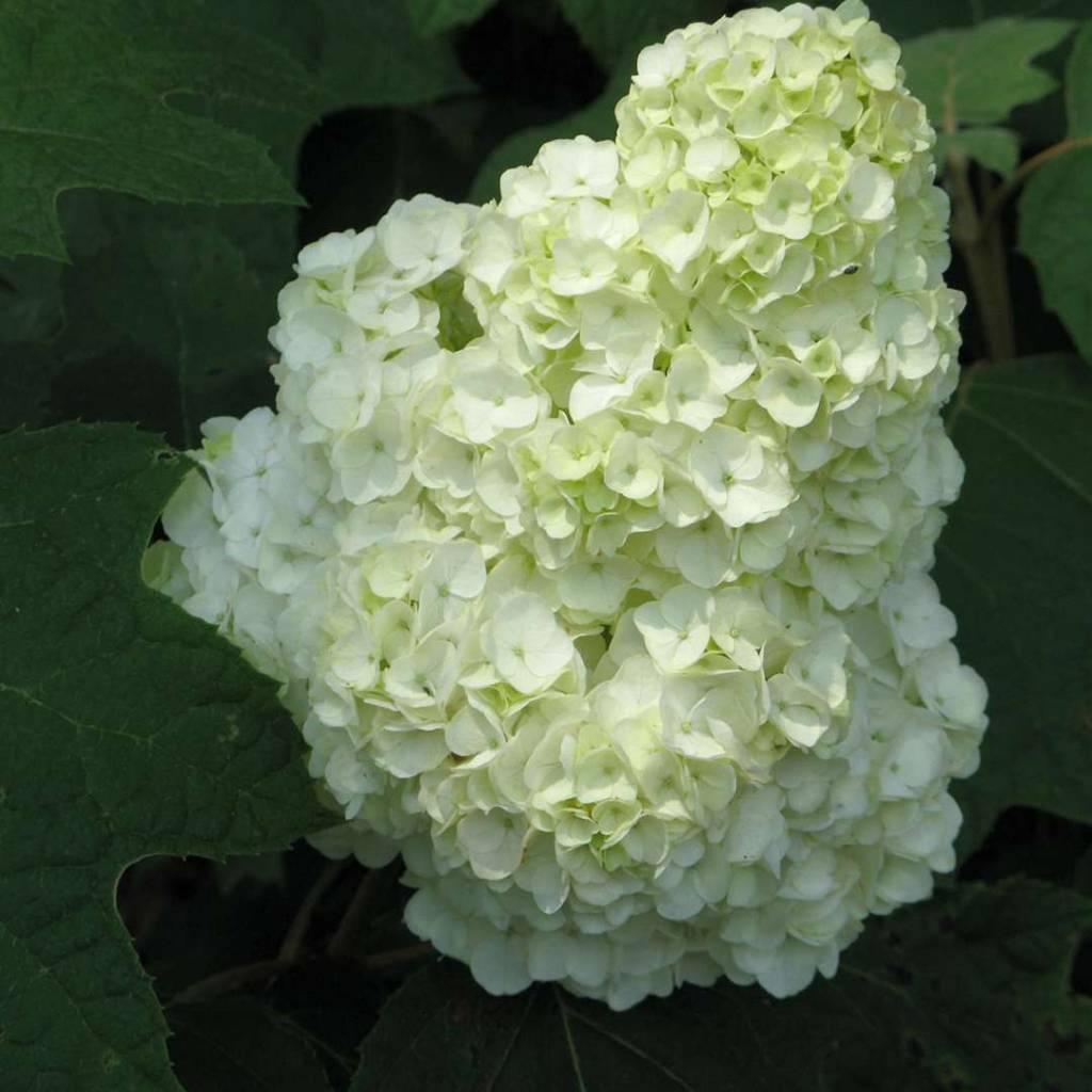 Nativar Shrub Hydrangea querc. Gatsby Moon Hydrangea - Oakleaf, Gatsby Moon, #3
