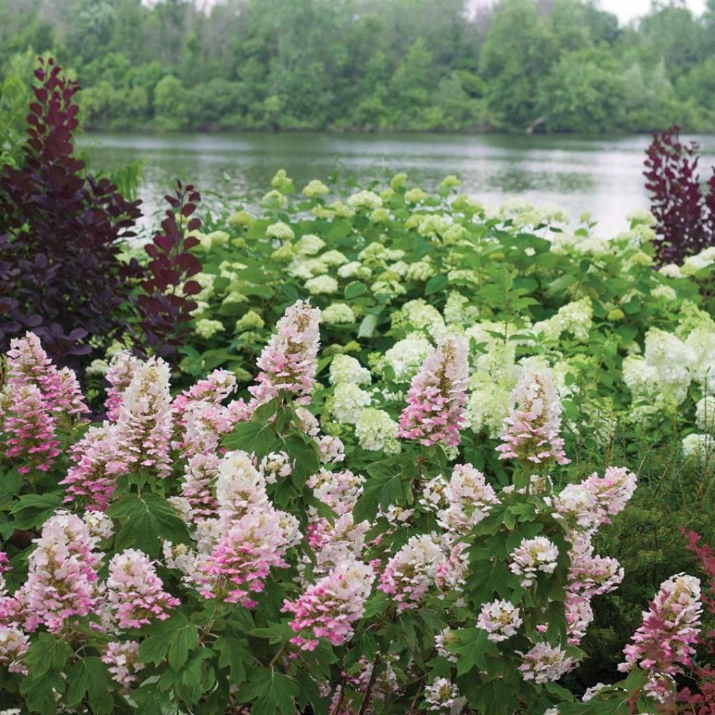 Nativar Shrub Hydrangea querc. Gatsby Pink Hydrangea - Oakleaf, Gatsby Pink, #3