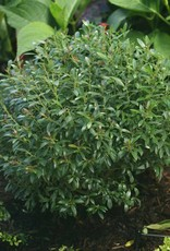Nativar Shrub Ilex glabra Gem Box - Inkberry,  #3