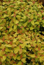Spiraea jap. NCSX1 Spirea, Double Play Candy Corn, #3