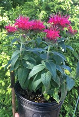Monarda did. Balmy Rose Bee Balm, Balmy Rose, #1