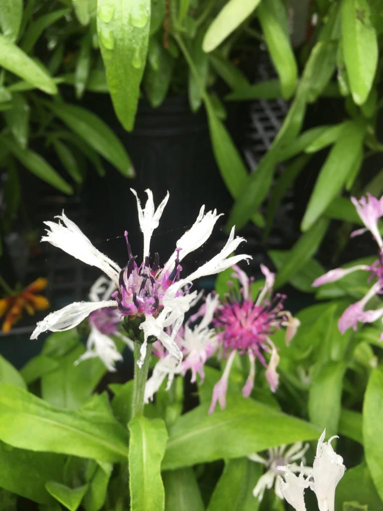 Centaurea montana Lavender Mist Batchelor's Button, Blue, #1