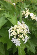 Viburnum trilobum Baileys Viburnum - Cranberry Bush, Compact, #3