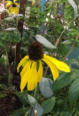 New Rudbeckia Maximum