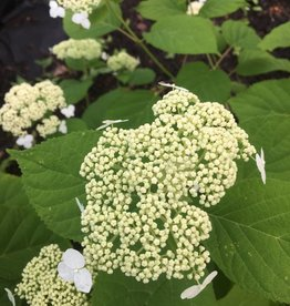 Nativar Shrub Hydrangea arborescens White Dome, Smooth Hydrangea #3