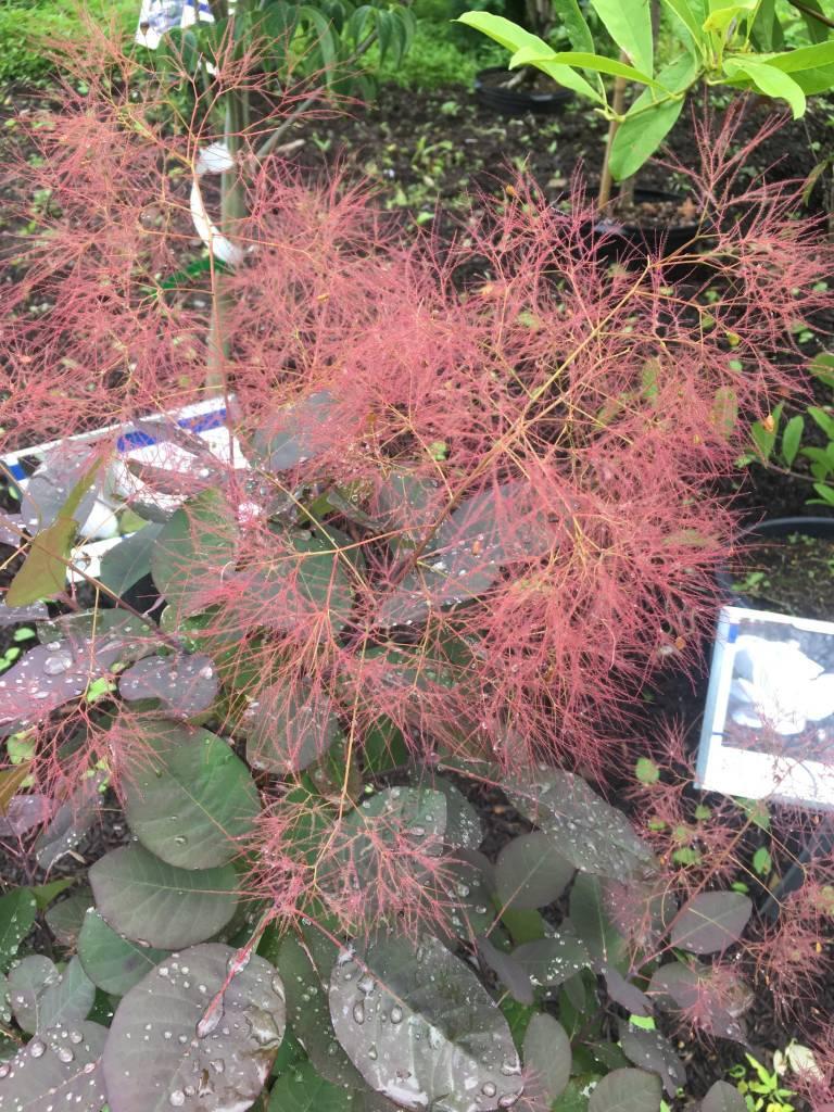 Cotinus Coggygria Royal Purple Smokebush 3 Behmerwald Nursery