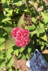 Spiraea x media NCSX2 Spirea, Double Play Doozie, #3