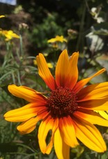 Heliopsis hel. Burning Hearts False Sunflower, Burning Hearts, #1