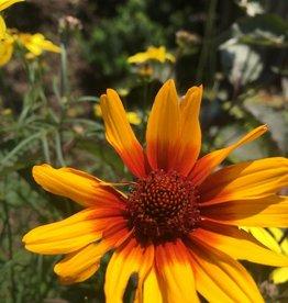 Heliopsis hel. Burning Hearts False Sunflower, Burning Hearts, #1