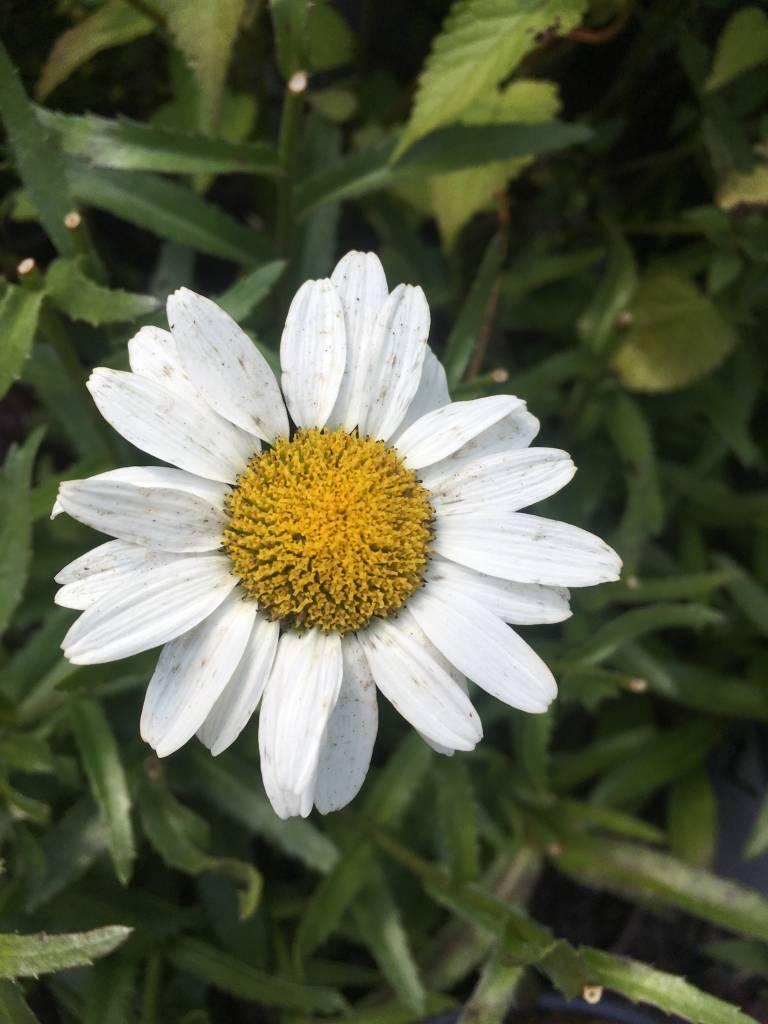 Leucanthemum Snow Cap Daisy - Shasta, Snow Cap, #1