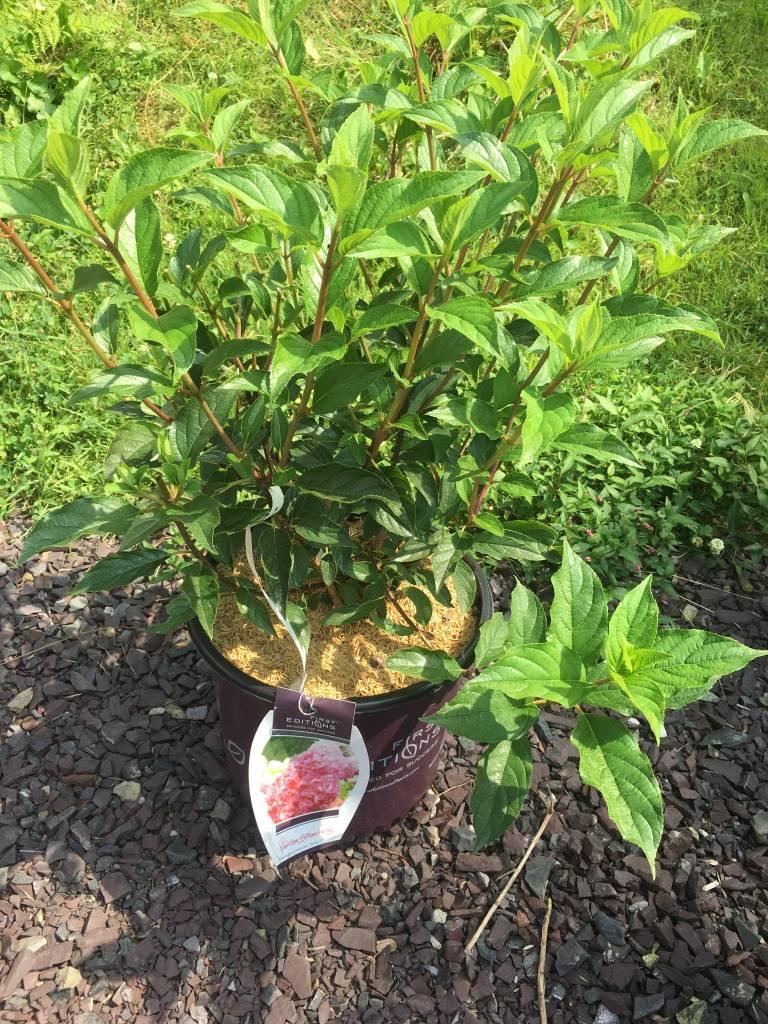 Hydrangea panic. Van Strawberry Hydrangea - Hardy, #5