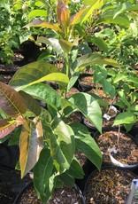 Native Tree Diospyros, Persimmon #3