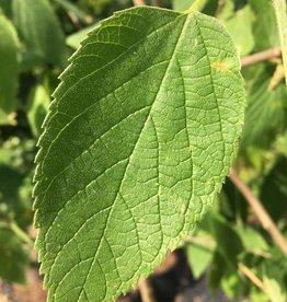 Native Tree Celtis occidentalis Hackberry, #5