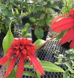 Echinacea x Rainbow Marcella Coneflower,  #1