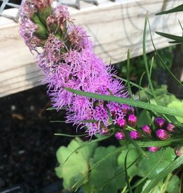 Liatris spicata Gayfeather, Purple, #1