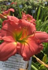 Hemerocallis Passionate Returns Daylily, #1