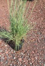 Schizachyrium scoparium Grass - Ornamental Little Bluestem, #1