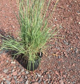 Schizachyrium scoparium Grass - Ornamental Little Bluestem, #1