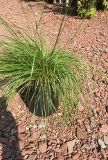 Sporobolus heterolepis Grass - Ornamental Prairie Dropseed, #1