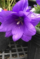 Platycodon gr. Astra Double Blue Balloon Flower, Astra Double Blue, #1