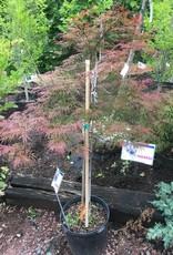 Acer palm. Inaba Shidare Maple - Japanese  Maple, #7