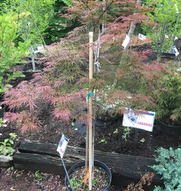 Acer palm. Inaba Shidare Maple - Japanese  Maple, #7