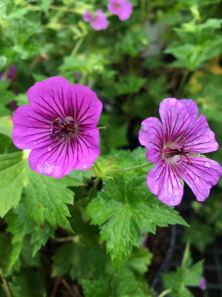 Geranium Pink Penny Geranium, Pink Penny, #1